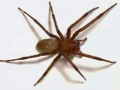 Sheet Web Spider