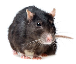 Rat Removal Atlanta - North Fulton Pest Solutions