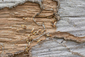 What Do You Need to Know about Termite Control Services for This Spring?