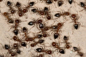 Tips For Managing a Spring Ant Infestation