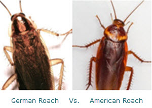 German Roaches vs. American Roaches