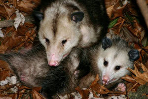 Wildlife Removal in Roswell, GA
